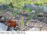 Ростки чеснока. Стоковое фото, фотограф Надежда Шапкина / Фотобанк Лори