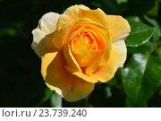 Купить «Роза Кэндллайт (лат. Candlelight)», эксклюзивное фото № 23739240, снято 1 августа 2015 г. (c) lana1501 / Фотобанк Лори