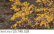 Купить «Ветки березы с желтой листвой в ямальской лесотундре качаются на ветру», видеоролик № 23740328, снято 17 сентября 2016 г. (c) Григорий Писоцкий / Фотобанк Лори