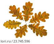 Осенний хоровод дубовых листьев на белом фоне. Стоковое фото, фотограф Анатолий Платонов / Фотобанк Лори