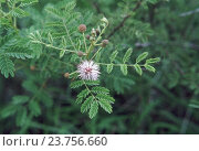 Купить «Mimosa sp. Family: Mimosaceae. A large shrub. The branches of this spiny shrub are used for making fences.», фото № 23756660, снято 20 января 2019 г. (c) age Fotostock / Фотобанк Лори