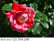 Купить «Роза чайно-гибридная Рашель Луиза Моран (лат. Rachel Louise Moran)», эксклюзивное фото № 23764248, снято 1 июля 2015 г. (c) lana1501 / Фотобанк Лори