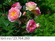 Роза кустарниковая Мадам де Сталь (лат. Mme de Stael) Стоковое фото, фотограф lana1501 / Фотобанк Лори