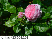 Купить «Роза французская кустарниковая Шанталь Мерье (лат. Chantal Merieux)», эксклюзивное фото № 23764264, снято 1 июля 2015 г. (c) lana1501 / Фотобанк Лори