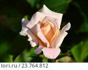 Купить «Роза чайно-гибридная Шимэн (лат. Jardins de Bagatelle)», эксклюзивное фото № 23764812, снято 24 июля 2015 г. (c) lana1501 / Фотобанк Лори