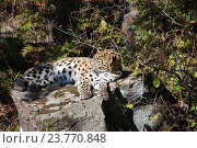 Купить «Дальневосточный леопард (лат. Panthera pardus orientalis)  в Уссурийской тайге», эксклюзивное фото № 23770848, снято 11 октября 2016 г. (c) syngach / Фотобанк Лори