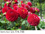 Купить «Красный георгин», фото № 23774748, снято 11 сентября 2016 г. (c) Татьяна Кахилл / Фотобанк Лори