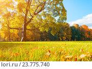 Купить «Осенний пейзаж - красивый осенний клен в солнечном парке и опавшие желтые листья на траве», фото № 23775740, снято 3 октября 2016 г. (c) Зезелина Марина / Фотобанк Лори