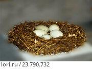 Гнездо. Стоковое фото, фотограф Olga  Suntsova / Фотобанк Лори