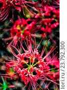 Купить «Red spider lily lycoris radiata cluster amaryllis higanbana flowera», фото № 23792300, снято 31 мая 2020 г. (c) age Fotostock / Фотобанк Лори