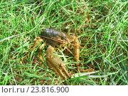 Купить «Широкопалый речной рак (лат. Astacus astacus) — вид десятиногих ракообразных из инфраотряда Astacidea - в траве», фото № 23816900, снято 15 октября 2016 г. (c) Наталья Гармашева / Фотобанк Лори