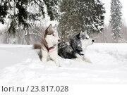 Две взрослые собаки хаски лежат в снегу. Стоковое фото, фотограф Савчук Алексей / Фотобанк Лори