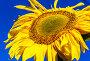 Подсолнечник на фоне голубого неба. Малая глубина резкости, фото № 23820496, снято 27 августа 2016 г. (c) Николай Коржов / Фотобанк Лори