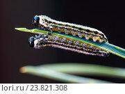 Купить «Две гусеницы соснового пилильщика на хвоинке», фото № 23821308, снято 16 июля 2020 г. (c) Mike The / Фотобанк Лори