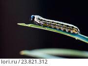 Купить «Гусеница соснового пилильщика на хвоинке», фото № 23821312, снято 16 июля 2020 г. (c) Mike The / Фотобанк Лори
