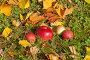 Красные яблоки на траве среди осенней листвы, эксклюзивное фото № 23821348, снято 16 октября 2016 г. (c) Svet / Фотобанк Лори