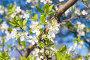 Цветение вишни, фото № 23822492, снято 21 октября 2016 г. (c) megastocker / Фотобанк Лори
