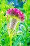 Целозия серебристая или Петуший гребешок (лат. Celosia argentea). Однолетнее, декоративное, садовое растение в период цветения, фото № 23823928, снято 10 июля 2016 г. (c) Евгений Мухортов / Фотобанк Лори