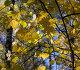 Ветки с жёлтыми кленовыми листьями, фото № 23824764, снято 10 октября 2016 г. (c) Фотограф / Фотобанк Лори