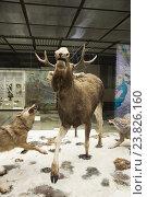Купить «Экспозиция охота волков на лося в Государственном Дарвиновском музее», эксклюзивное фото № 23826160, снято 19 июля 2016 г. (c) Алёшина Оксана / Фотобанк Лори