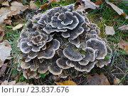 Купить «Грифола курчавая (лат. Grifola frondosa) он же гриб-баран, мейтаке (маитаке), танцующий гриб. Занесён в Красную Книгу РФ», фото № 23837676, снято 7 ноября 2015 г. (c) Зобков Георгий / Фотобанк Лори