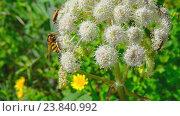Купить «Мухи и жуки собирают нектар на цветах Дягиля лесного (Дудник лесной)», видеоролик № 23840992, снято 25 июля 2016 г. (c) Pukhov K / Фотобанк Лори