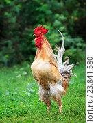 Купить «Красивый красный петух, стоя на зеленой траве, кукарекает рано утром на ферме», фото № 23841580, снято 15 августа 2016 г. (c) Бачкова Наталья / Фотобанк Лори