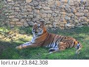 Купить «Амурский тигр лежит на траве в зоопарке», фото № 23842308, снято 31 августа 2015 г. (c) Арестов Андрей Павлович / Фотобанк Лори