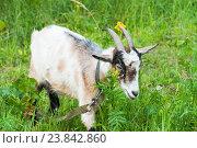 Купить «Коза», эксклюзивное фото № 23842860, снято 15 июля 2016 г. (c) Алёшина Оксана / Фотобанк Лори