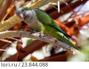 Купить «Monk parakeet», фото № 23844088, снято 20 апреля 2018 г. (c) age Fotostock / Фотобанк Лори