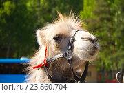 Задумчивая морда верблюда, фото № 23860704, снято 24 мая 2011 г. (c) Сергей Александров / Фотобанк Лори