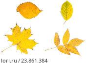 Желтые осенние листья на белом фоне. Стоковое фото, фотограф Артем Силионов / Фотобанк Лори