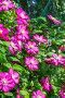 Цветущий клематис (Clematis) в вертикальном озеленении дачи, фото № 23873900, снято 24 июня 2015 г. (c) Евгений Мухортов / Фотобанк Лори