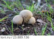 Купить «Три гриба дождевика», эксклюзивное фото № 23889136, снято 27 августа 2016 г. (c) Dmitry29 / Фотобанк Лори