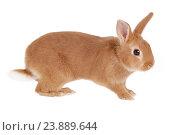 Купить «Карликовый кролик, изолировано на белом фоне», фото № 23889644, снято 9 апреля 2016 г. (c) Игорь Долгов / Фотобанк Лори