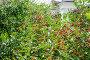 Поспевающая вишня (Prunus cerasus), эксклюзивное фото № 23902796, снято 3 июля 2015 г. (c) Алёшина Оксана / Фотобанк Лори