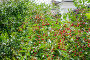 Поспевающая вишня (Prunus cerasus), фото № 23902796, снято 3 июля 2015 г. (c) Алёшина Оксана / Фотобанк Лори