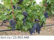 Виноградные лозы с черным виноградом. Виноградник. Крым. Стоковое фото, фотограф MARINA EVDOKIMOVA / Фотобанк Лори
