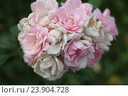 Розовые мини розы в летнем парке. Стоковое фото, фотограф Ирина Садовская / Фотобанк Лори