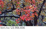 Купить «Hawthorn tree with red leaves under heavy snowfall at late Autumn and early Winter in Siberia», видеоролик № 23906836, снято 23 октября 2016 г. (c) Serg Zastavkin / Фотобанк Лори