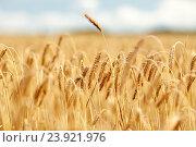 Купить «cereal field with spikelets of ripe rye or wheat», фото № 23921976, снято 31 июля 2016 г. (c) Syda Productions / Фотобанк Лори