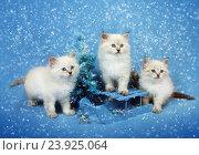 Купить «Сибирский котенок, новогодняя тема для открытки», фото № 23925064, снято 10 января 2016 г. (c) ElenArt / Фотобанк Лори