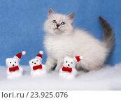 Купить «Сибирский котенок, новогодняя тема для открытки», фото № 23925076, снято 17 января 2016 г. (c) ElenArt / Фотобанк Лори