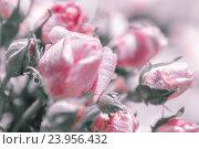 Бутоны роз в каплях воды. Стоковое фото, фотограф Светлана Сухорукова / Фотобанк Лори