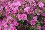 Цветущая розовая азалия (рододендрон), локальный фокус, малая ГРИП, фото № 23956496, снято 11 мая 2016 г. (c) Галина Хорошман / Фотобанк Лори