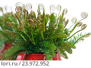 Купить «Curly leaves of fern in red ceramic vase», фото № 23972952, снято 6 сентября 2016 г. (c) Татьяна Белова / Фотобанк Лори