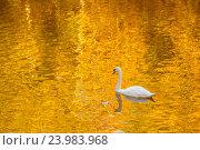 Купить «Осенний пруд с лебедем», фото № 23983968, снято 1 октября 2016 г. (c) Дмитрий Тищенко / Фотобанк Лори