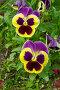Фиалка трехцветная (лат. Viola tricolor), или анютины глазки, фото № 23984392, снято 4 июня 2016 г. (c) Елена Коромыслова / Фотобанк Лори