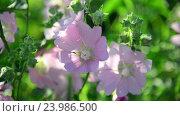 Купить «Purple pink meadow mallow flowers Malva close up», видеоролик № 23986500, снято 28 октября 2016 г. (c) Володина Ольга / Фотобанк Лори