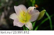Купить «Pale pink flower daylily in flowerbed», видеоролик № 23991812, снято 22 июля 2016 г. (c) Володина Ольга / Фотобанк Лори